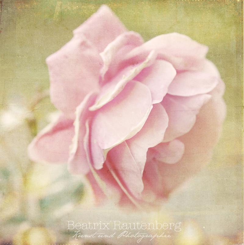 Portrait d'une rose